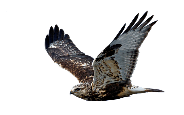 differences between falcon & hawk